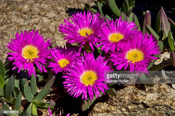 Sweet Hottentots Fig -Carpobrotus deliciosus-, Namaqualand, Northern Cape, South Africa