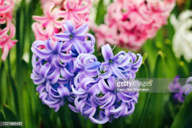 sweet hyacinths of spring - hyacinth stock pictures, royalty-free photos & images