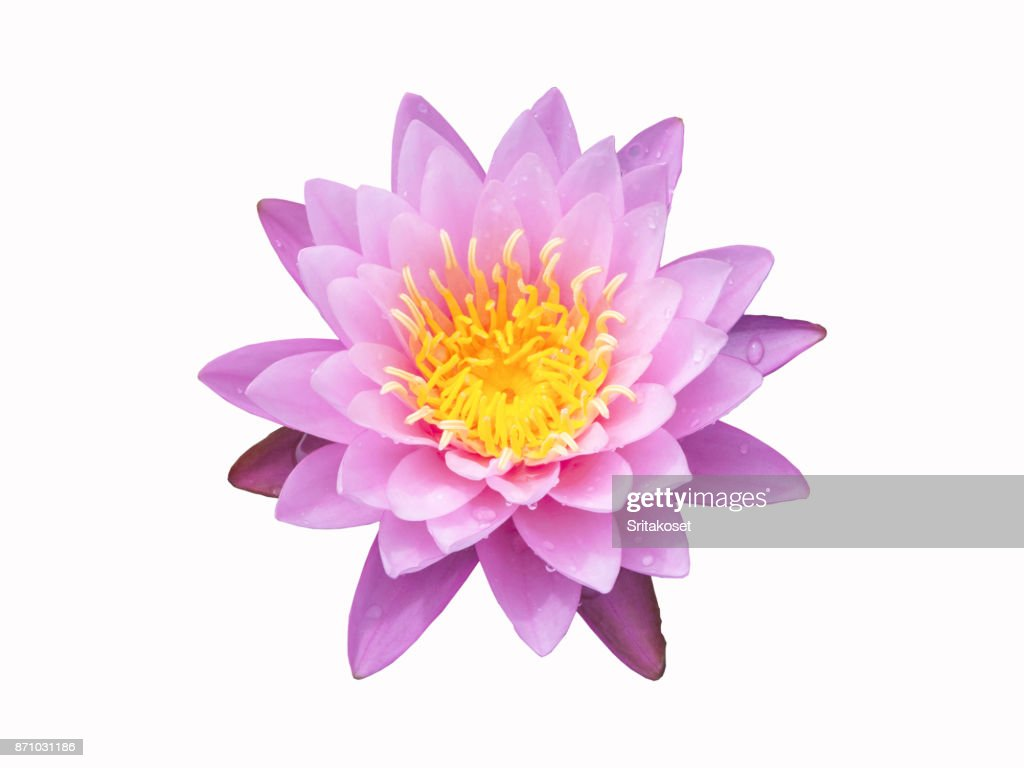 Sweet Lotus Flower On White Background With Clipping Path Stock