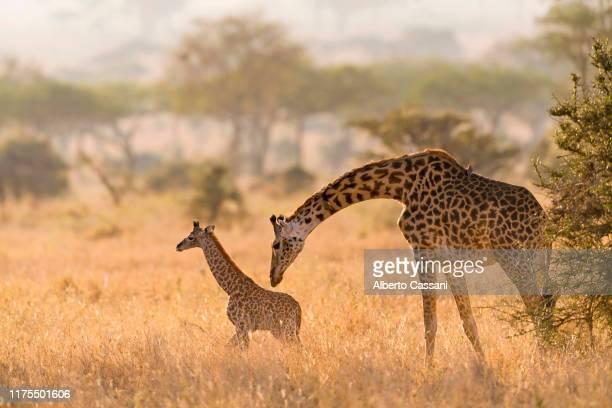 sweet mommy. - filhote de animal - fotografias e filmes do acervo