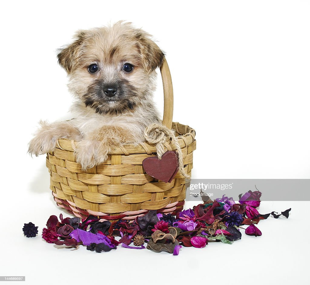 Sweet  morkie  puppy : Stock Photo