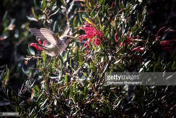 sweet nectar - highlywood fotografías e imágenes de stock