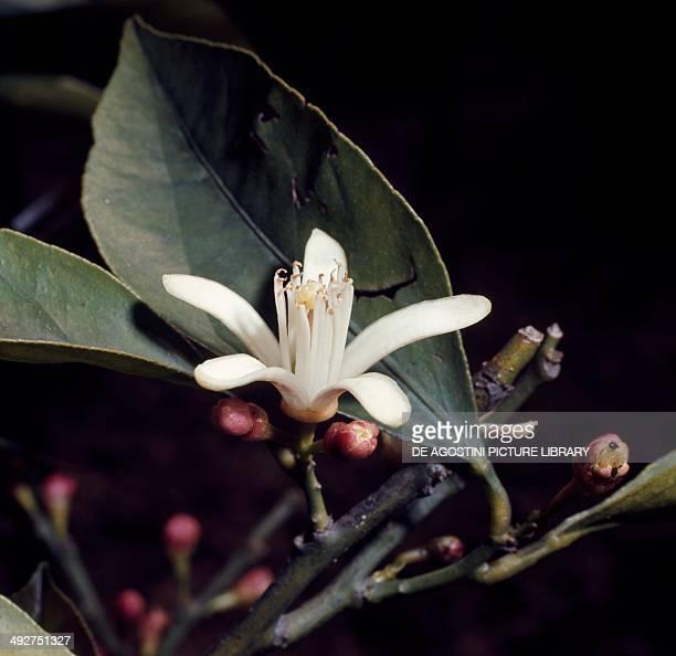 Sweet Orange flower , Rutaceae.