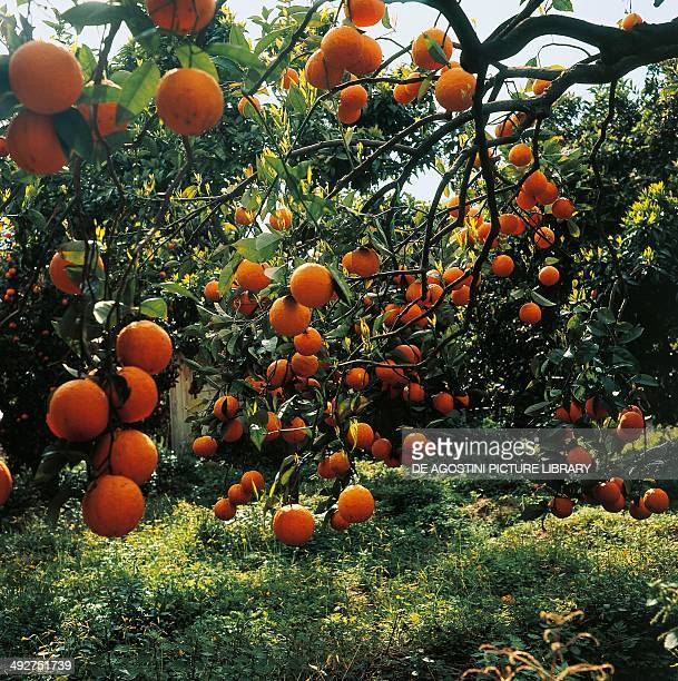 Sweet Orange , Rutaceae.