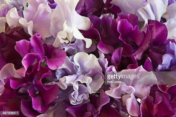 Sweet pea abstract