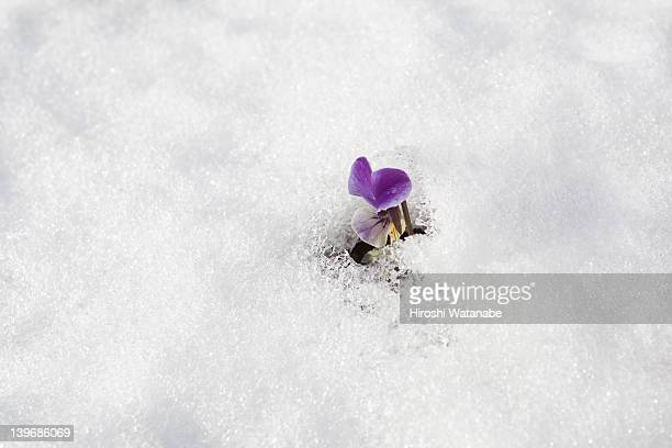 sweet pea field on which snow lay - appearance stock photos and pictures