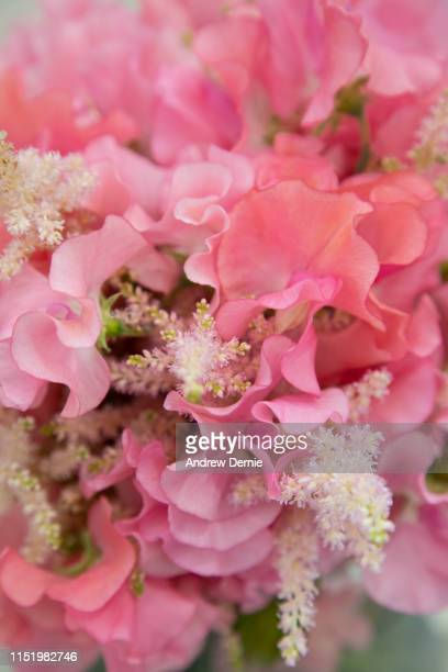 sweet pea flowers close-up - andrew dernie stock pictures, royalty-free photos & images