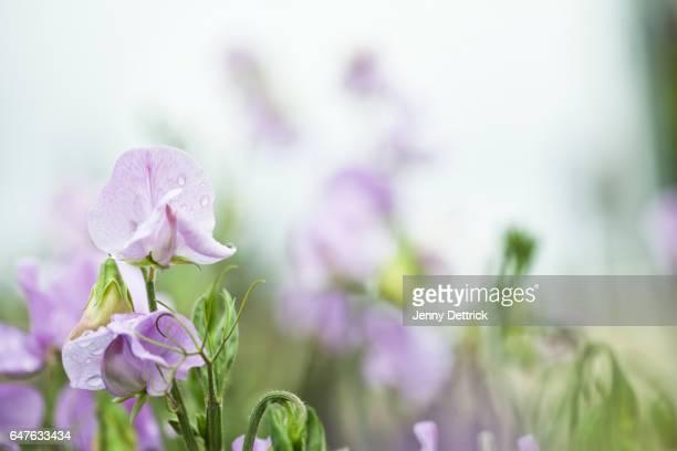 Sweet pea flowers in a garden