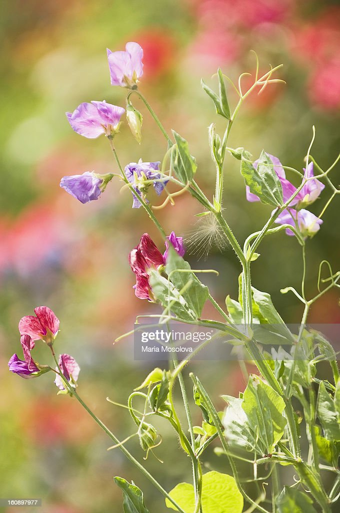 Sweet Pea Flowers : Stock Photo
