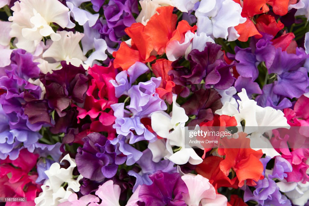 Sweet Pea : Stock Photo