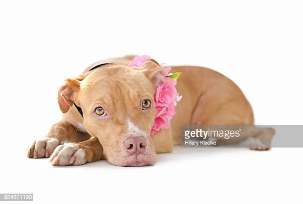 sweet pit bull puppy - american pit bull terrier stock pictures, royalty-free photos & images