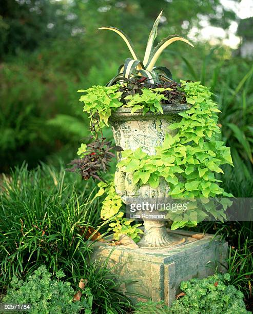 Sweet potato vines and agave growing from potted plant