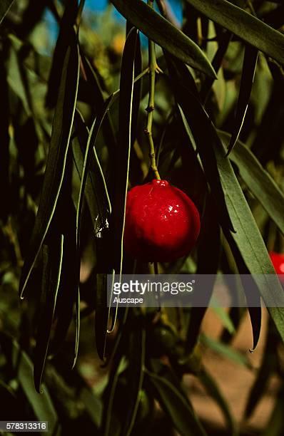 Sweet quandong Santalum acuminatum a sandalwood Central Australia