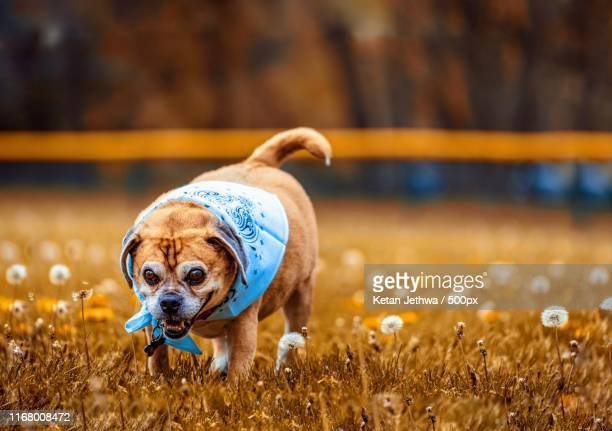 sweet sammie - puggle stock pictures, royalty-free photos & images