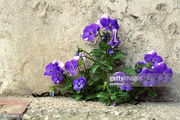 Dolce Violets