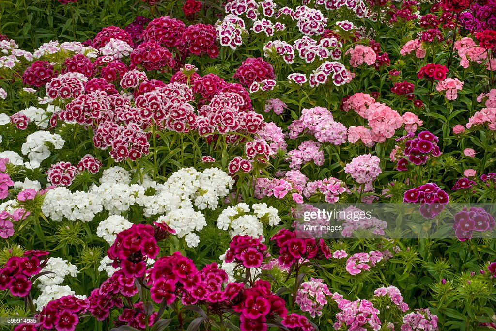 Sweet william flower stock photos and pictures getty images sweet william dianthus flowering plants perennials in the garden with delicate multiflower heads in a mightylinksfo