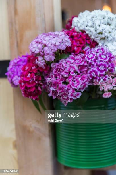 sweet william flower - mazzi fiori di campo foto e immagini stock