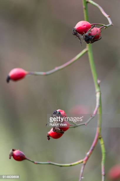 Sweetbriar rose hip, eglantine, rosa rubiginosa close up