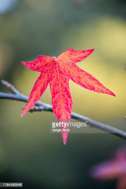 sweetgum tree autumn leaves - highgate stock pictures, royalty-free photos & images