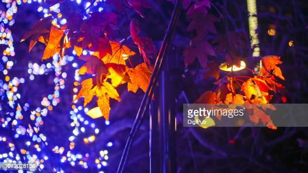 sweetgum tree leaves against illumination - novembro azul - fotografias e filmes do acervo