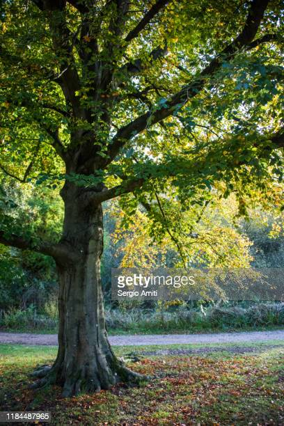 sweetgum tree with autumn leaves in hampstead heath, london - highgate stock pictures, royalty-free photos & images