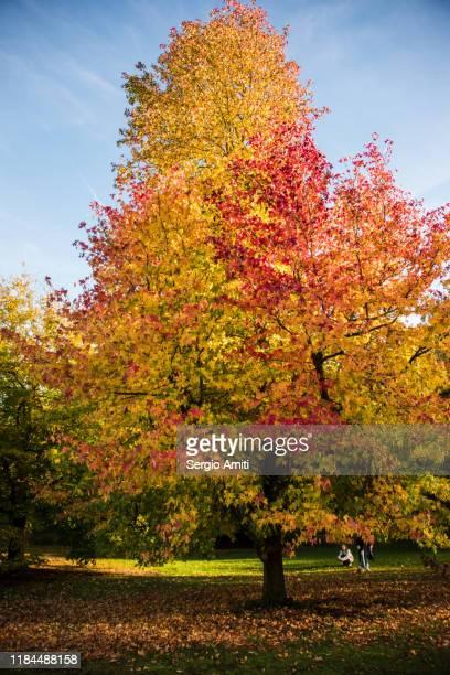 sweetgum tree with autumn leaves in hampstead heath, london - kenwood house fotografías e imágenes de stock