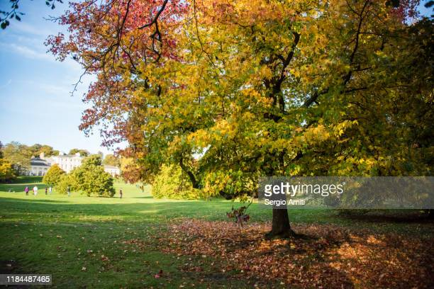 sweetgum tree with autumn leaves with kenwood house in hampstead heath, london - kenwood house fotografías e imágenes de stock
