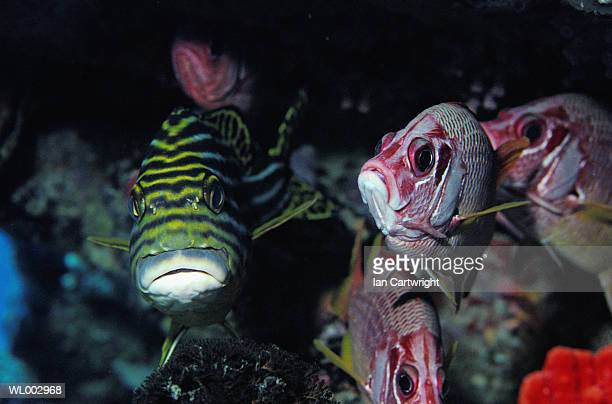sweetlips and squirrel fish -- maldives - squirrel fish photos et images de collection