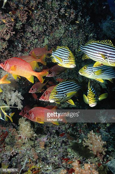 sweetlips and squirrelfish - squirrel fish photos et images de collection