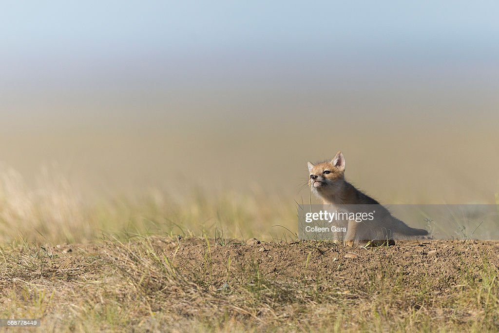 Swift Fox Pup Chewing Grass : Stock Photo