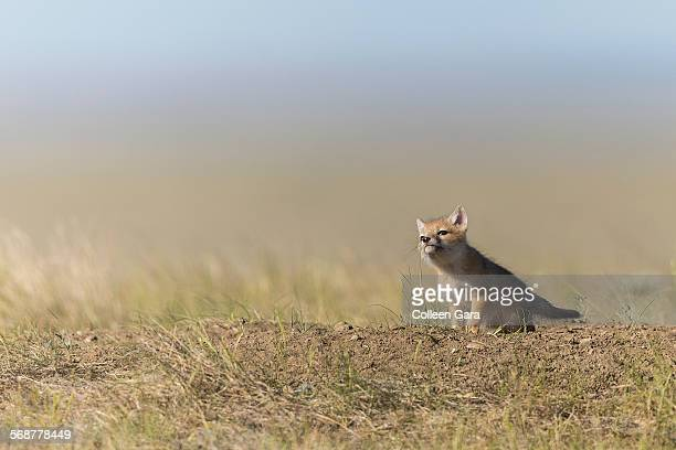 swift fox pup chewing grass - canadian prairies stock photos and pictures