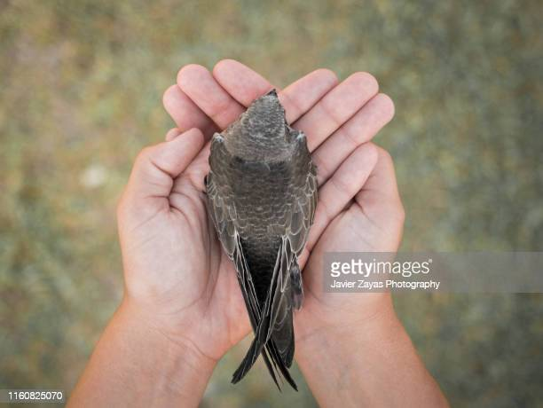 swift in the hands - animal rescue stock pictures, royalty-free photos & images