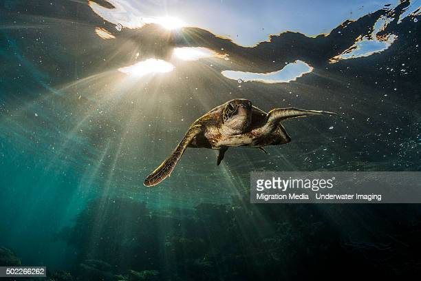 Swim away turtle