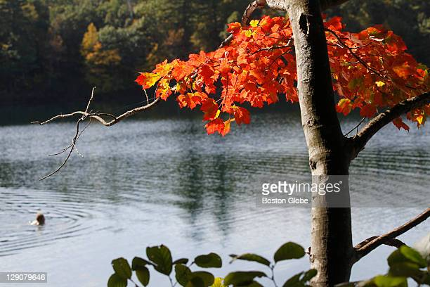 A swimmer makes a ripple on Walden Pond amid slowly turning foliage and 64 degree water on a mild October morning