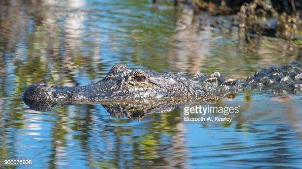 swimming alligator - titusville florida stock pictures, royalty-free photos & images