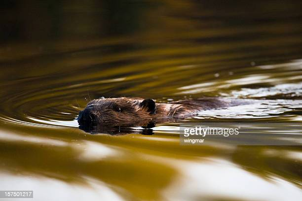 swimming beaver - beaver stock pictures, royalty-free photos & images