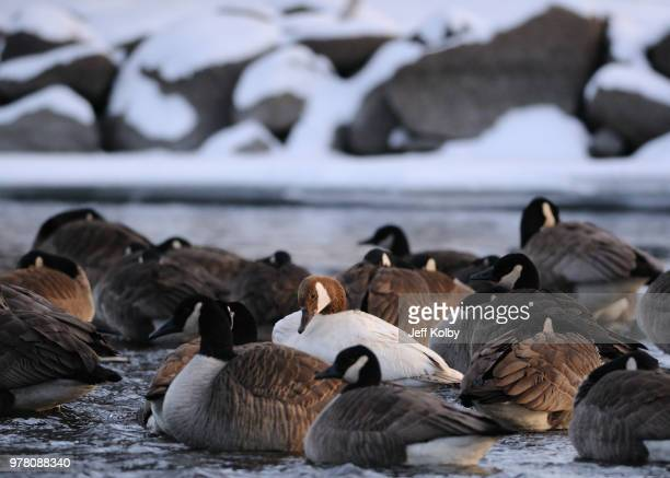 swimming brown geese, waterford, wisconsin, usa - iron_county,_wisconsin stock pictures, royalty-free photos & images