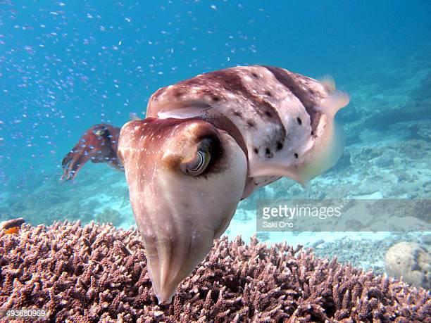 Swimming Cuttlefish