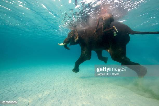 swimming elephant - elephant handler stock pictures, royalty-free photos & images