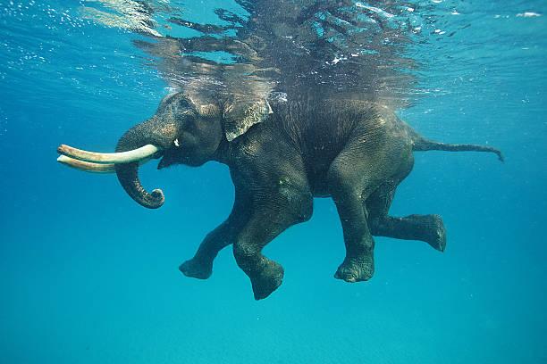 Swimming elephant