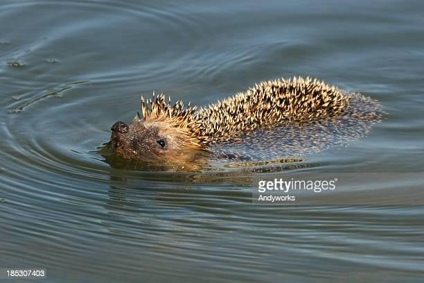 Swimming European Hedgehog (Erinaceus europaeus)