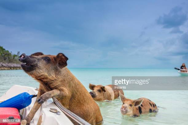 swimming feral pigs of exuma, on the bahamian uninhabited pig island. - pig stock photos and pictures