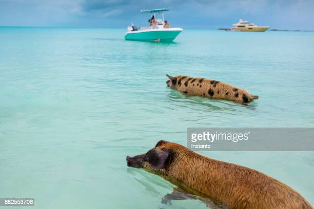 swimming feral pigs of exuma, on the bahamian uninhabited pig island. - bahamas stock pictures, royalty-free photos & images