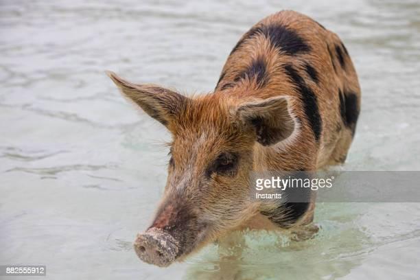 スイミング exuma バハマ無人島豚島の野生のブタ。 - 雌豚 ストックフォトと画像