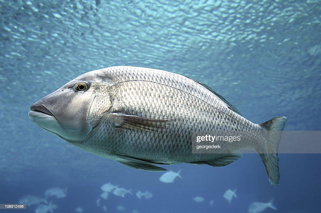 Swimming Fish Close-Up : Stock Photo