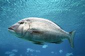 Swimming Fish Close-Up