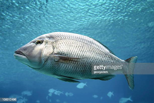 swimming fish close-up - big fish stock pictures, royalty-free photos & images