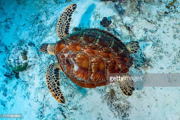 natation tortue verte chelonia midas d'en haut, palau, micronésie - lagon photos et images de collection