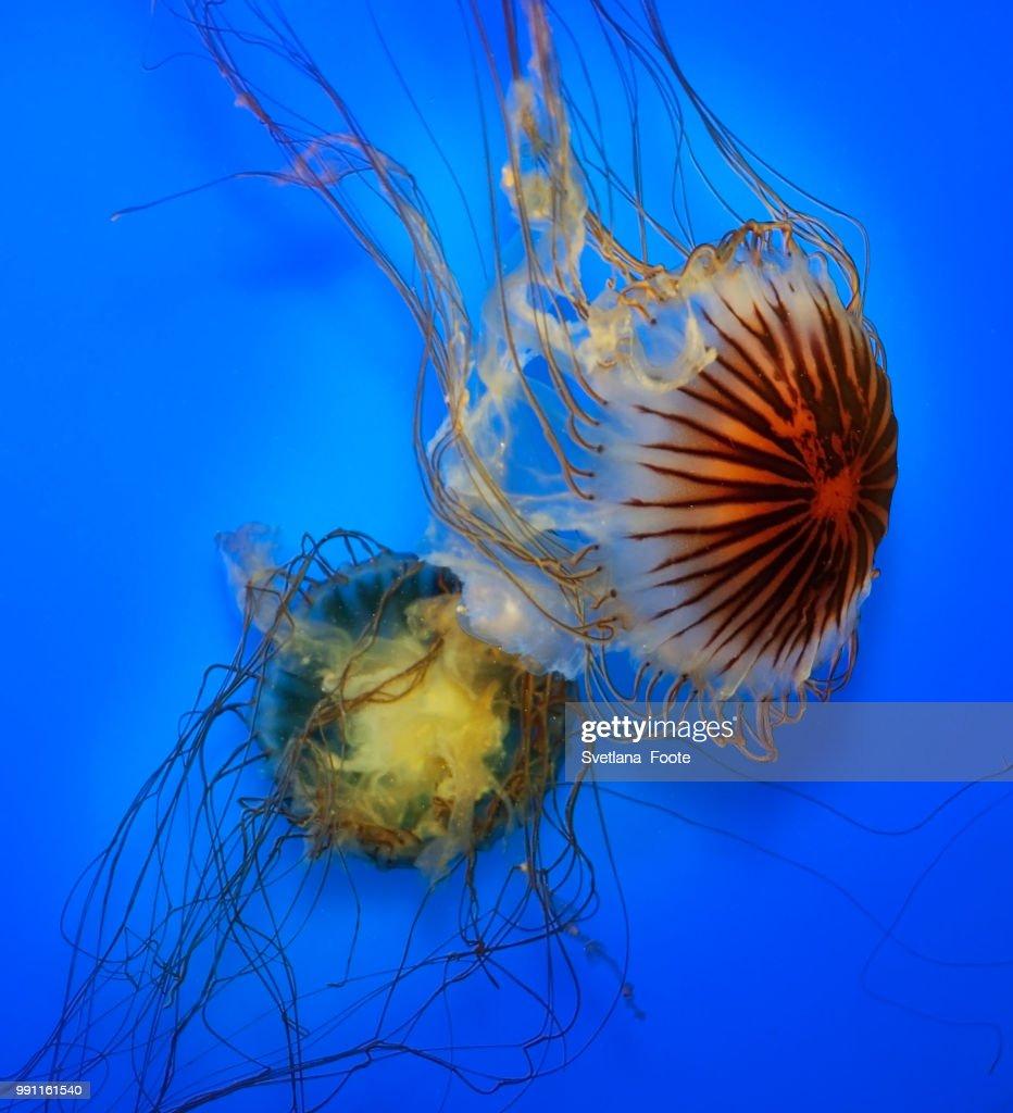Swimming  Jellyfish : Stock Photo