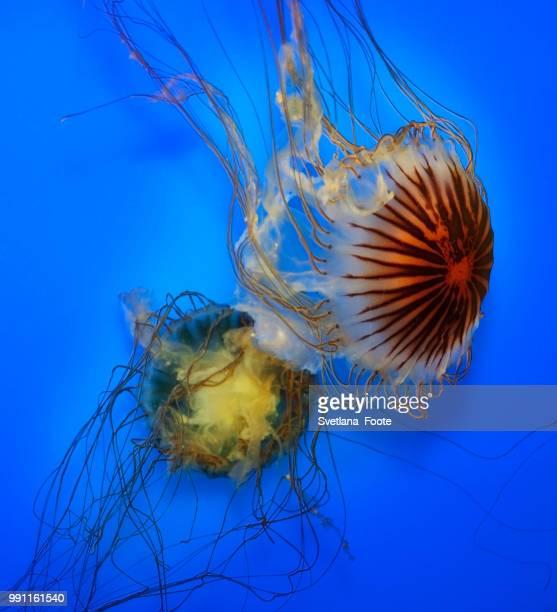 swimming  jellyfish - svetlana stock photos and pictures